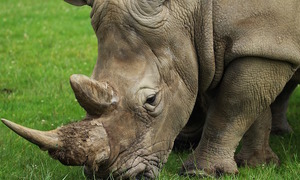 3 Vietnamese arrested in Thailand for smuggling rhino horns