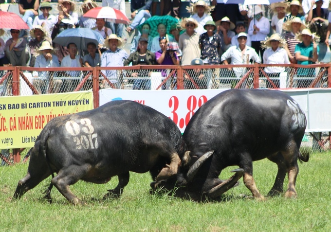 despite-controversy-buffalo-fighting-festival-resumes-in-northern-vietnam