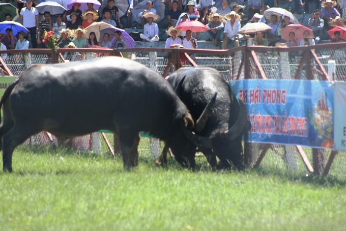 despite-controversy-buffalo-fighting-festival-resumes-in-northern-vietnam-2