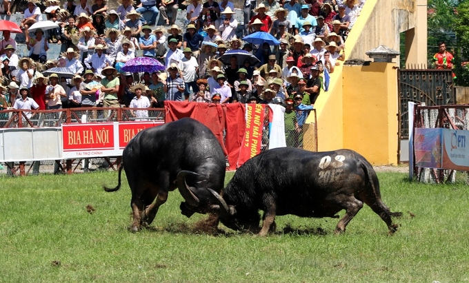 despite-controversy-buffalo-fighting-festival-resumes-in-northern-vietnam-3