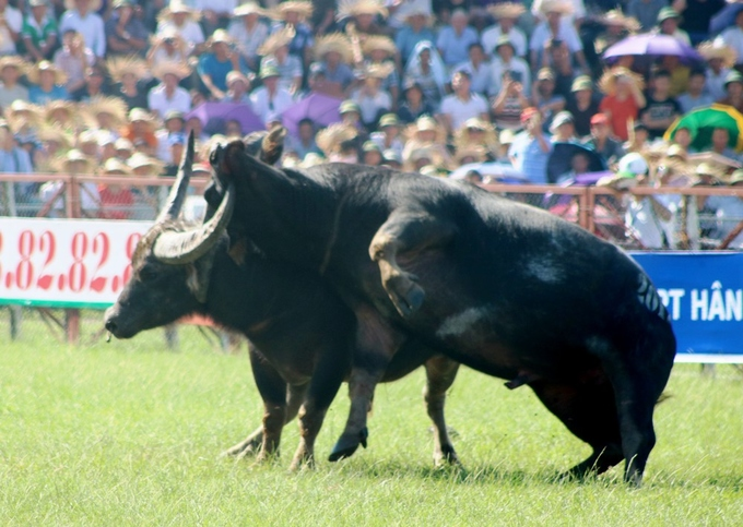 despite-controversy-buffalo-fighting-festival-resumes-in-northern-vietnam-5