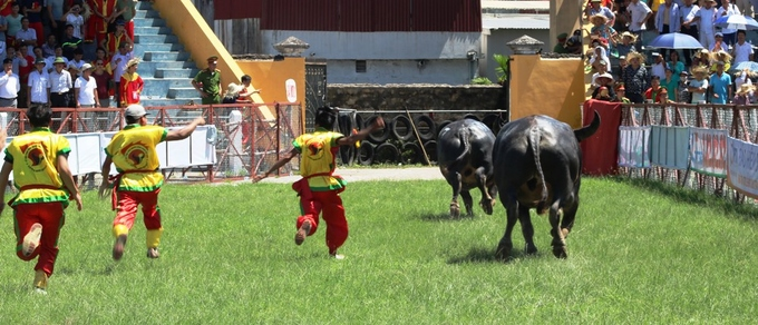 despite-controversy-buffalo-fighting-festival-resumes-in-northern-vietnam-6