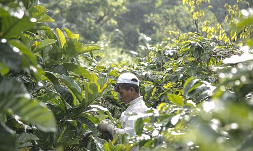 In search of Arabica in Vietnam's war-scarred soil