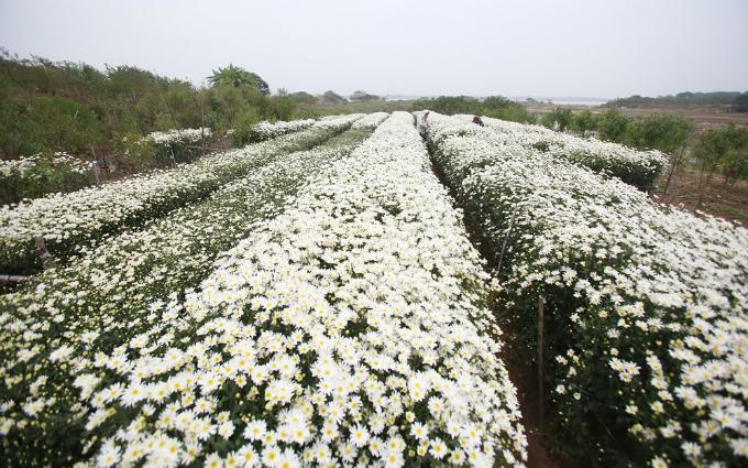 winter-wonderland-daisy-season-brightens-spirits-in-hanoi