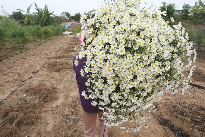 winter-wonderland-daisy-season-brightens-spirits-in-hanoi-8