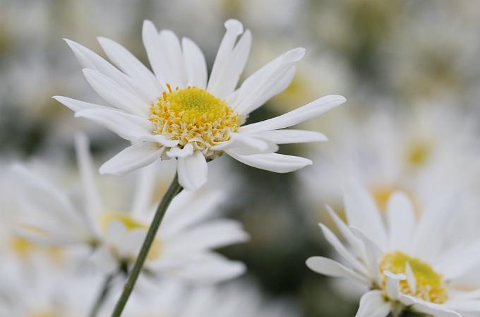 winter-wonderland-daisy-season-brightens-spirits-in-hanoi-1