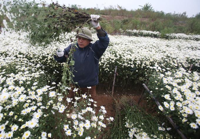 winter-wonderland-daisy-season-brightens-spirits-in-hanoi-2