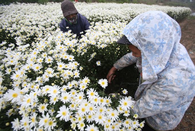 winter-wonderland-daisy-season-brightens-spirits-in-hanoi-3