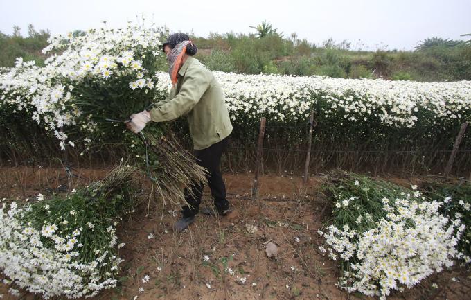 winter-wonderland-daisy-season-brightens-spirits-in-hanoi-9