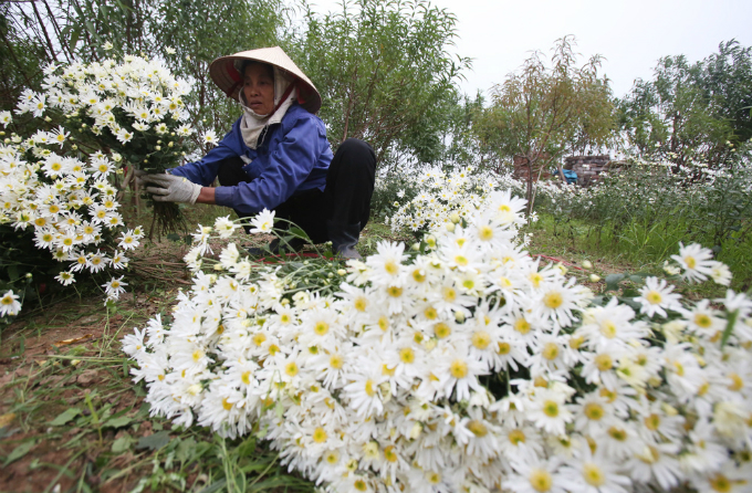 winter-wonderland-daisy-season-brightens-spirits-in-hanoi-5