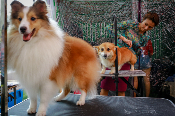 pooches-on-parade-at-vietnam-championship-dog-show