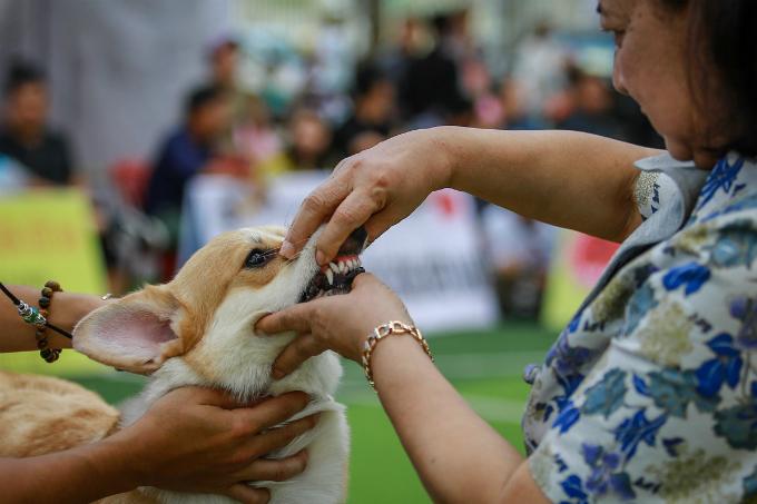 pooches-on-parade-at-vietnam-championship-dog-show-6