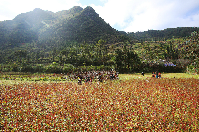 Year-end is the time when ethnic people in the northern upland region of Vietnam, such as Ha Giang Province, roll up their sleeves for harvesting buckwheat, a type of grain that they use to make cake and wine for daily use.