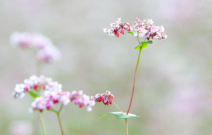 Buckwheat is a familiar plant in the northern mountainous region of Vietnam but in recent years, it has become nationally famous after photos and videos capturing the gentle beauty of its flowers rocked the internet, luring more and more travelers to the region.