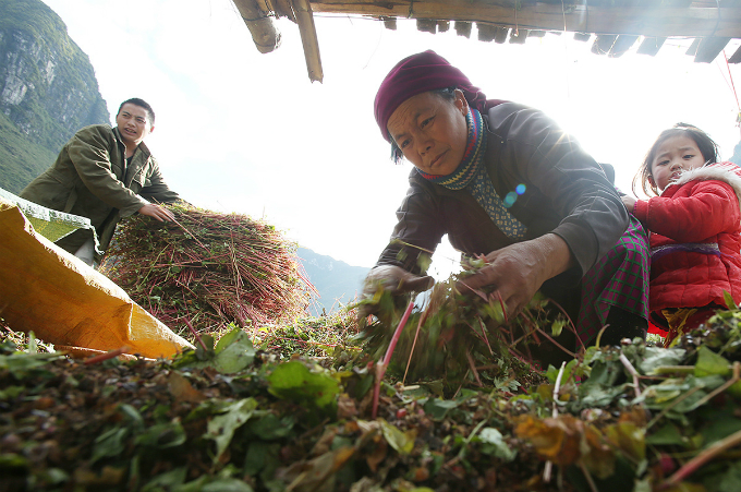 My family usually harvests 30 kilograms of buckwheat grains each year. We do not sell but keep it at home for our meals. For the past three years, we have expanded the field as encouraged by the authorities to serve tourists, said Thao in Dong Van District.