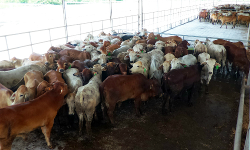 Vietnam's taste for beef soars, but cattle industry can't find its feet