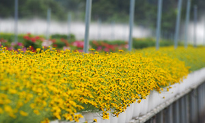 Vietnamese flower village in full bloom for Tet
