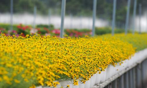 Vietnamese flower village in full bloom for Tet