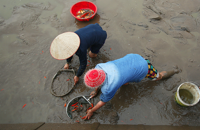 Farmers in Thuy Tram, a village in Tuy Loc Commune of Phu Tho, 50 kilometers (30 miles) northwest of Hanoi, spare 30 hectares (3,000 ares) to raise red carps and harvest up to 40 tons of the fish each year.