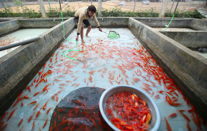 My family produces 300 kilos of fish this year. We will sell them at VND120,000 per kilo, said a farmer named Ha Cong Vu. He added that the price of red carps is higher this year compared to VND80,000 per kilo last year.