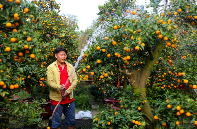 In Saigon, those who are not confident in taking care of a big tree can also hire one for two weeks from this kumquat farm at the price of VND40 million per tree. Photo by VnExpress/Quynh Tran