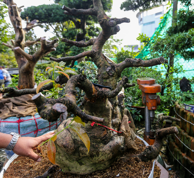 With a strange root and branches, this small one costs VND100 million. Photo by VnExpress/Quynh Tran