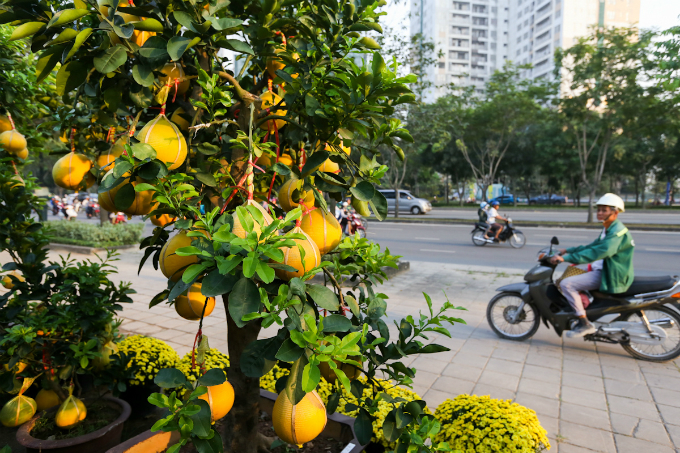 These pomelo trees are on sale in Ho Chi Minh City for VND30-50 million ($1,300-2,200). Photo by VnExpress/Quynh Tran