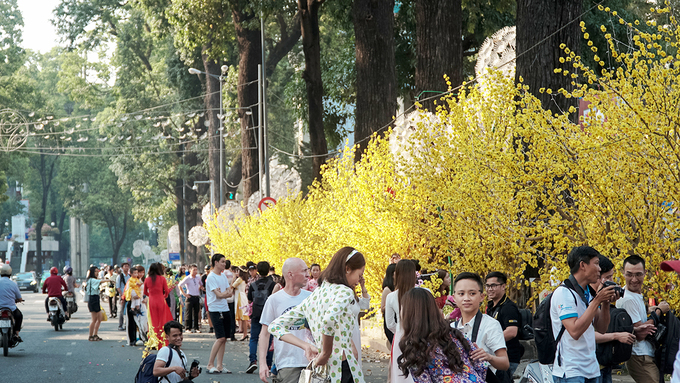 In Saigon, fake ochna trees light up a whole street  corner in the downtown. Vietnamese love to have flowers on the Lunar  New Year, with peach blossoms a must in the north and bright yellow  ochna the southern staple.