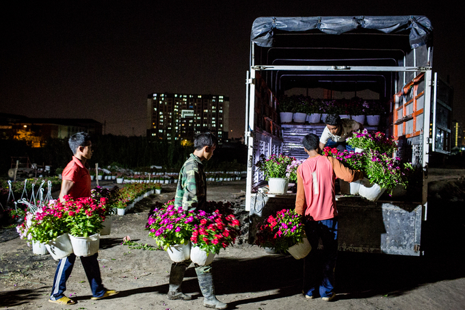 Workers stay up all night to bring flowers from the farm to trucks.
