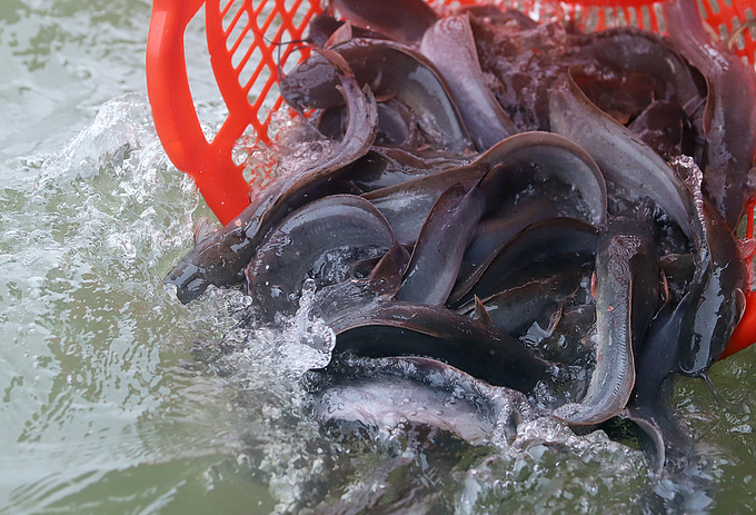 A group of catfish thrash around upon reaching the water.