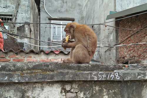 The monkey happily accepted a banana from a resident. Photo courtesy of