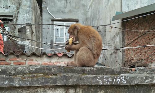 Stray monkey runs riot in Hanoi neighborhood