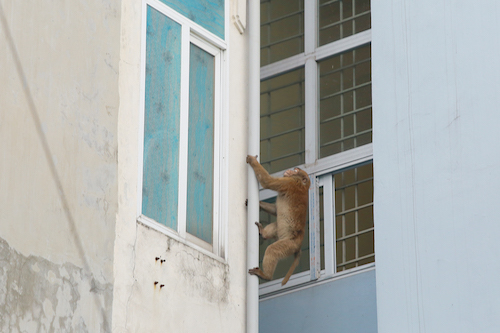 The monkey has been intruding Phuc Tan residents homes for two weeks. Photo by VnExpress/Manh Cuong
