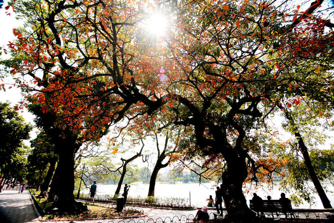 Leaves of freshwater mangroves, called loc vung in Vietnamese, around the citys beloved Sword Lake (aka Hoan Kiem Lake) are changing their color and the breath-taking scenery it creates is a should-not-miss.