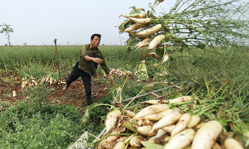 Tons of radishes left to rot due to massive oversupply in Hanoi