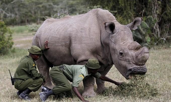 World's last male northern white rhino dies in Kenya