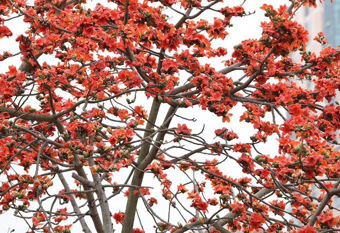 In March, hoa gao starts to strip all its foliage, leaving the showy flower turns it into a resemblance to a burning torch.