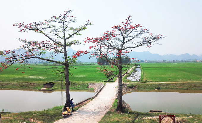 ...and its bold red blossoms brighten up the green landscape.