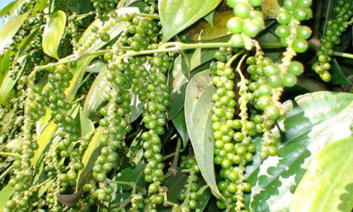 Vietnamese farmers banking on pepper despite signs of oversupply