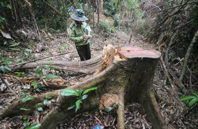 Ho Van Minh, director of the forest management board, admitted that he had been neglected to let such a case happen. Local police said they have taken criminal proceeding against this logging case.
