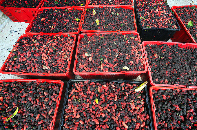 Vibrant, succulent mulberries sit in containers, waiting to be delivered and consumed. Their main markets are Hanoi, Danang, Quang Binh, Quang Tri.In Hanoi, you can buy these at about VND25,000 ($1) per kilogram.
