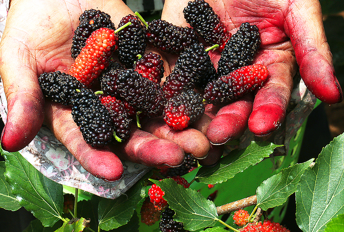 Freshly harvested black and red mulberries.Color pigments from mulberries may leech onto the skin during harvesting. Farmers often rub limes onto hands to clean them.