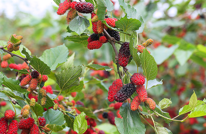 Clusters of mulberries wait to be harvested.40 days before harvesting, farmers would neither fertilize nor spray pesticides to let the mulberries ripen naturally, hence the varied colors.