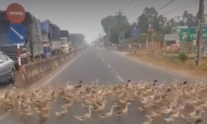 In a flap: Video shows ducks taking on traffic across road in Vietnam