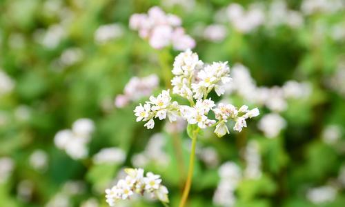 Blooming buckwheat flowers bring color to Hanoi