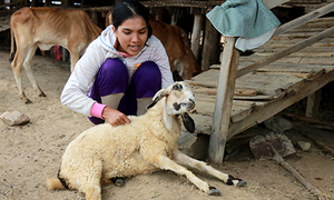 Vietnamese farmers fear of losing thousands of dollars as drought kills sheep en masse