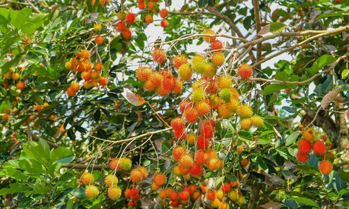 Vietnam first in line to export rambutans to New Zealand