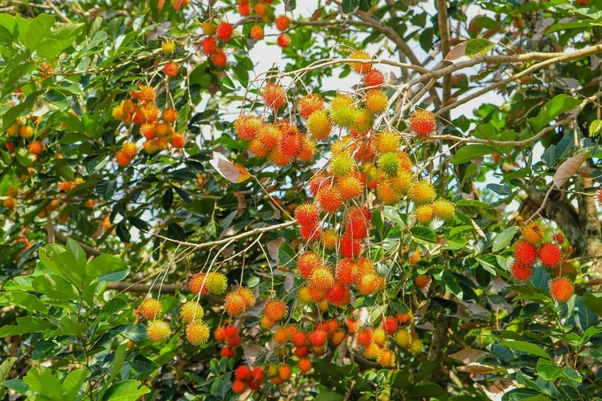 Vietnam first in line to export rambutans to New Zealand