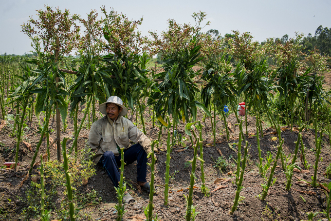 Ive been here for more than three months for the crop. I get VND6.5 million each month for watering and weeding the farms and loading leaves, Teo, 53, said.