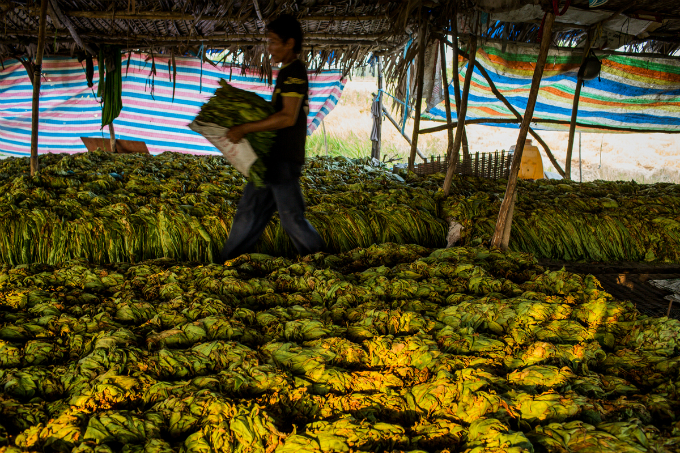 Bundles of tobacco leaves are kept inside the camp for one-two days.